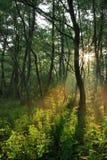 lasowy promieni wiosna słońce Zdjęcia Royalty Free