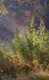 lasowy ranek Obrazy Stock