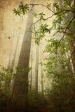 lasowy redwood Fotografia Stock