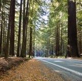 lasowy redwood Zdjęcia Royalty Free