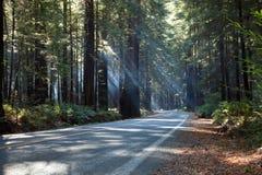 lasowy redwood Fotografia Royalty Free