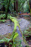 lasowy redwood Obrazy Royalty Free