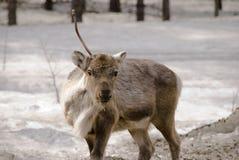 lasowy renifer Obrazy Royalty Free
