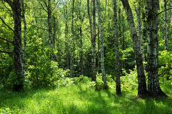 lasowy rosjanin Obraz Stock