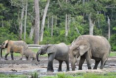 Lasowy słoń, (Loxodonta africana Kongo basen cyclotis) (lasowy mieszkaniowy słoń) Dzanga zasolony ( Obraz Royalty Free