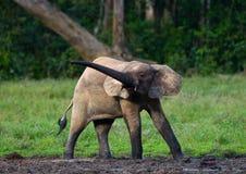 Lasowy słoń w lasowej krawędzi Fotografia Royalty Free