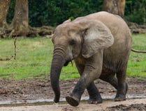 Lasowy słoń w lasowej krawędzi Zdjęcia Stock