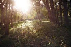 lasowy słońce Obrazy Stock