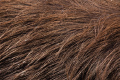 Lasowy sitatunga (Tragelaphus spekii gratus) tileable skóry bezszwowa tekstura Obraz Royalty Free