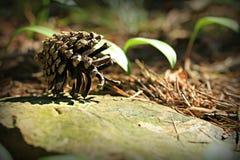 Lasowy sosna rożek Zdjęcia Royalty Free