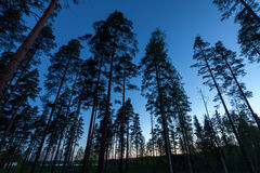 lasowy sosnowy niebo Fotografia Royalty Free