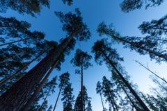 lasowy sosnowy niebo Zdjęcia Royalty Free