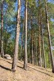 lasowy sosnowy pogodny Obrazy Royalty Free