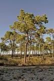 lasowy sosnowy zmierzch Obrazy Stock