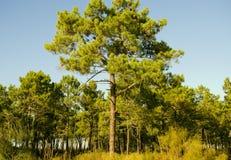 lasowy sosnowy zmierzch Obraz Stock