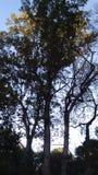 lasowy sosny wierzchołka drzewo Obraz Stock
