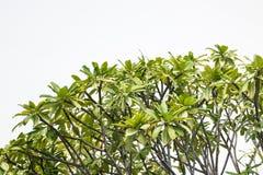 lasowy sosny wierzchołka drzewo Fotografia Royalty Free