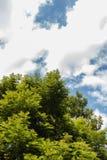 lasowy sosny wierzchołka drzewo Zdjęcia Stock