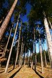 lasowy spojrzenie lasowa sosna zdjęcie royalty free