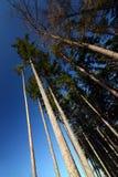 lasowy spojrzenie lasowa sosna obrazy royalty free