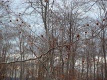 Lasowy szczegół z bezlistną biel barkentyną rozgałęzia się w wiośnie na chmurnym ranku Zdjęcia Stock
