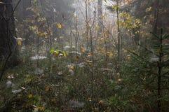 Lasowy tło, magiczny lasowy tło, pajęczyny tło, pajęczyna na trawy tle zdjęcia stock
