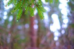 Lasowy tła zakończenie woda opuszcza na zielonych sosnowych igłach Zdjęcia Stock