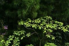 Lasowy tło - rododendronowy krzak pod sosnowymi gałąź Obraz Royalty Free