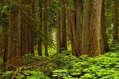 Lasowy tło w Mt Revelstoke parku narodowym, kolumbiowie brytyjska zdjęcia stock