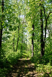 lasowy telita Obraz Stock