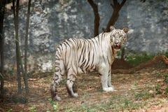 lasowy tygrysi biel Zdjęcie Royalty Free