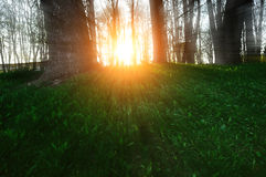 Lasowy wiosna krajobraz - lasowi drzewa z trawą na przedpolu i zmierzchu lekkim jaśnieniem przez drzew fotografia stock