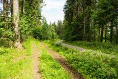 Lasowy wiosna krajobraz - rząd sosnowi lasowi drzewa i wąska ścieżka pod wiosny jaskrawym światłem słonecznym Lasowy wiosny natur Obrazy Royalty Free