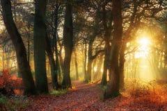Lasowy złoto Zdjęcia Stock