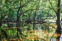 Lasowych drzew odbicie w wodzie Obrazy Stock