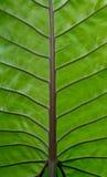 Lassen Sie Beschaffenheit grüner Caladium Stockbild