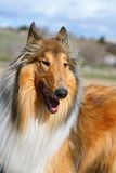 Lassie dog. A collie dog with its mouth open panting Royalty Free Stock Photography