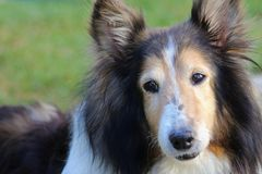 Lassie Dog Sitting In the grass. Sheltie sheep dog beautiful pup stock photography