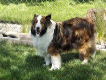 Lassie, nope it`s Maggie the Sheltie. Lassie go help Timmy, nope it`s Maggie go find Timmy a picture of my friends Sheltie stock photography