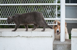 Lassie and gray cat Stock Photography