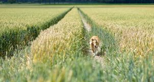 Lassie reloaded. A collie running through a wheat field stock image