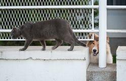 Lassie y gato gris Fotografía de archivo