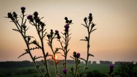 Lasso di tempo Cardi selvatici al tramonto stock footage