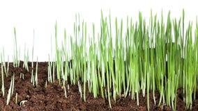 Lasso di tempo crescente della pianta 4k dell'erba verde stock footage