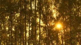 Lasso di tempo degli alberi al sole, foresta al bello tramonto stock footage