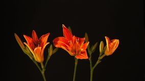 Lasso di tempo dei fiori arancio del giglio di apertura tre Fotografie Stock Libere da Diritti