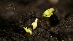 Lasso di tempo dei semi di verdure che crescono o che germogliano dalla terra video d archivio
