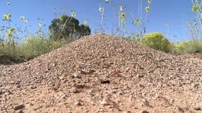 Lasso di tempo delle formiche stock footage
