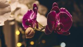 Lasso di tempo di fioritura dei fiori dell'orchidea archivi video