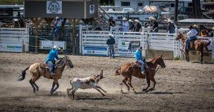 Lassoing på en rodeo Royaltyfria Bilder